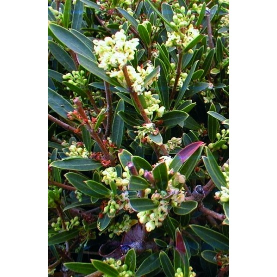Phillyrea latifolia/angustifolia ARBUSTO