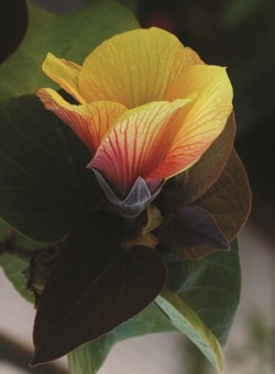 "Hibiscus tiliaceus ""Sitriya"" ARBOL"