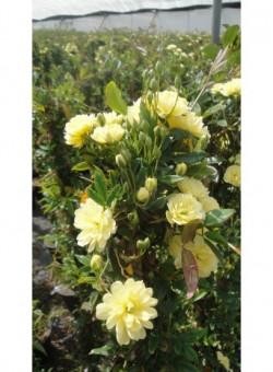 """Rosa banksiae """"Lutea"""" C18 - Flor"""