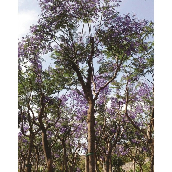 Jacaranda mimosifolia ARBOL