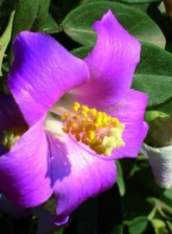 Lagunaria pattersonii ARBUSTO