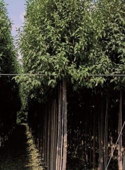 Lagunaria pattersonii ARBOL