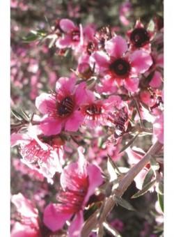 """Leptospermum scop. """"Pink Queen"""" - Flor"""