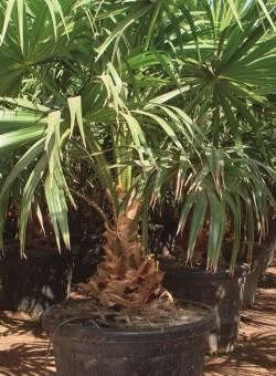 Livistona australis PALMERA