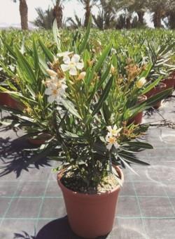 Nerium oleander amarillo ARBUSTO