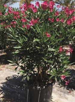 Nerium oleander Mix