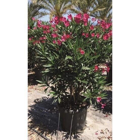 Nerium oleander rojo ARBUSTO