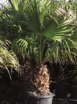 Livistona chinensis PALMERA
