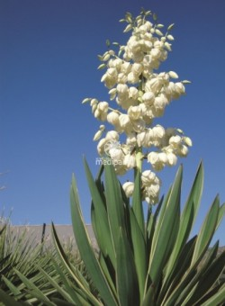 Yucca gloriosa SUCULENTA