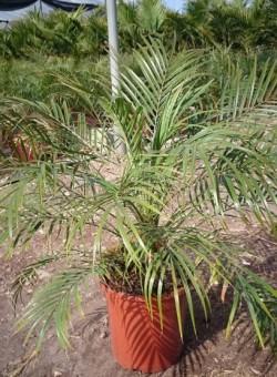 Phoenix roebelinii 10L PALMERA