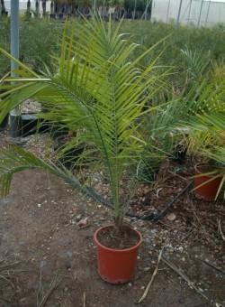 Phoenix rupicola PALMERA 25L