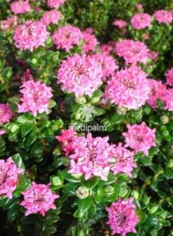 Pimelea ferruginea - Flor