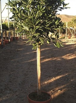 Pittosporum tobira COPAT/2