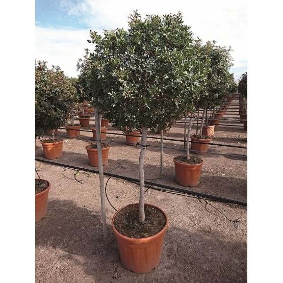 Pittosporum tobira ARBOL