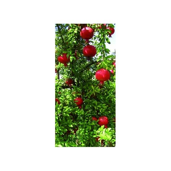 Punica granatum - Fruto