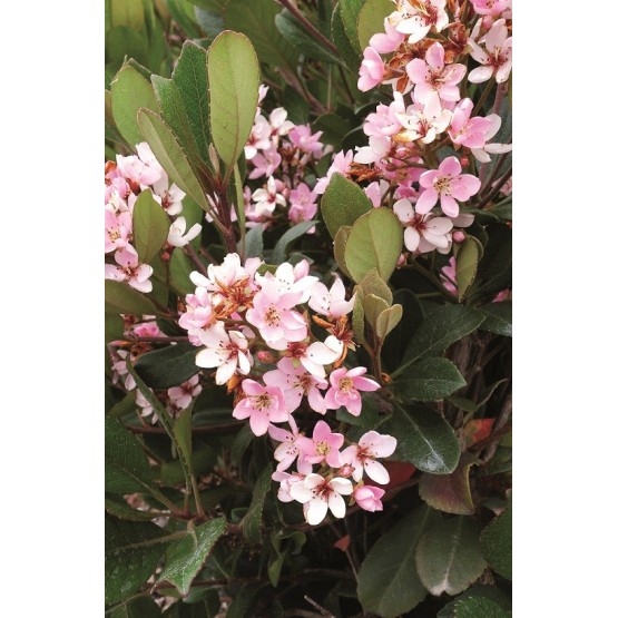 "Rhaphiolepis x indica ""Spring Time"" - Flor"
