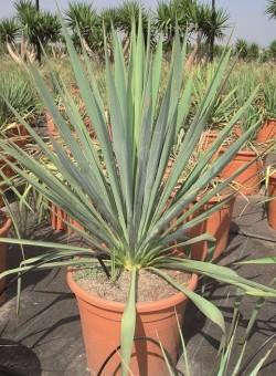 Yucca filamentosa SUCULENTA
