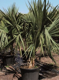 Sabal minor PALMERA