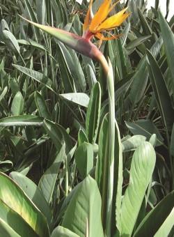 Strelitzia reginae HERBACEA