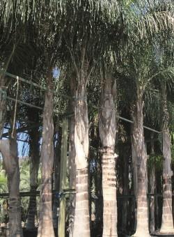 Syagrus romanzoffianum PALMERA