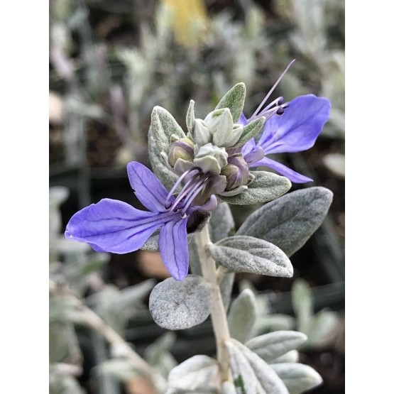 Teucrium fruticans - Flor