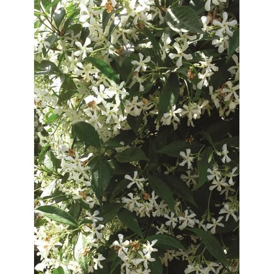 Trachelospermum jasminoides TREPADORA
