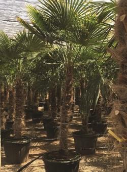 Trachycarpus fortunei PALMERA