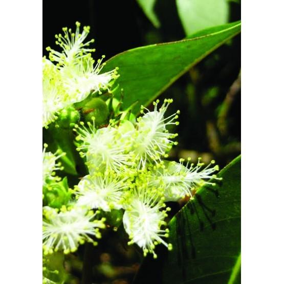 Tristania conferta ARBOL