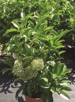 Viburnum lucidum ARBUSTO