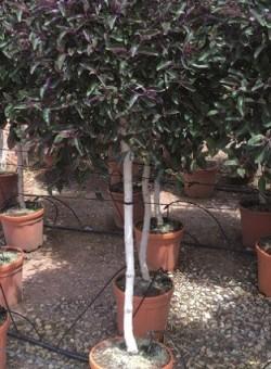 "Vitex trifolia ""Purpurea"" COPA"