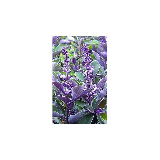"""Vitex trifolia """"Purpurea"""" ARBUSTO"""