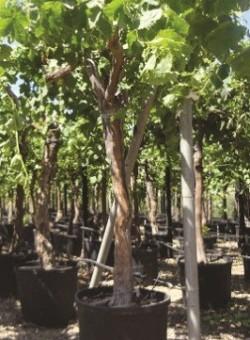 Vitis vinifera EJEMPLAR