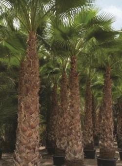 Washingtonia robusta PALMERA