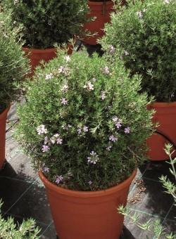 Westringea longifolia ARBUSTO
