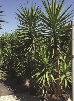 Yucca elephantipes