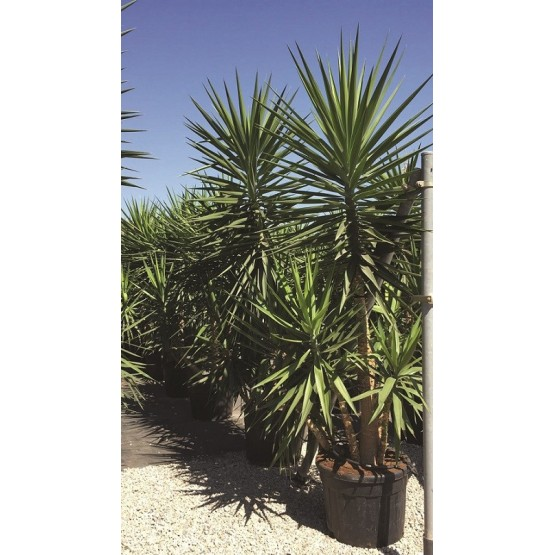 Yucca elephantipes SUCULENTA