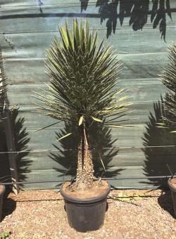 Yucca filifera SUCULENTA