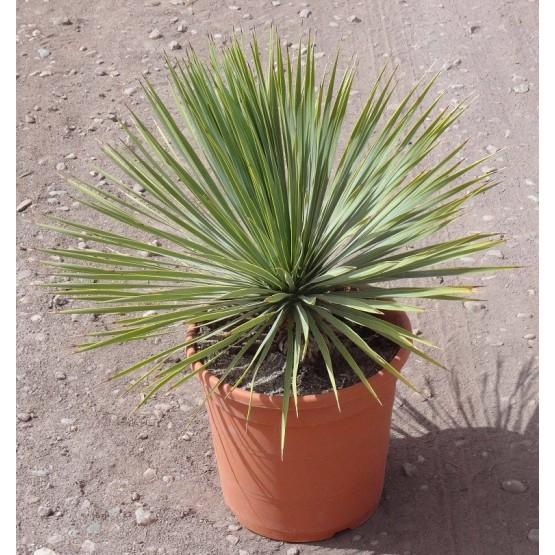 Yucca rostrata SUCULENTA