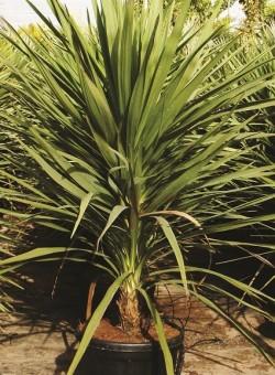 Cordyline australis/indivisa SUCULENTA