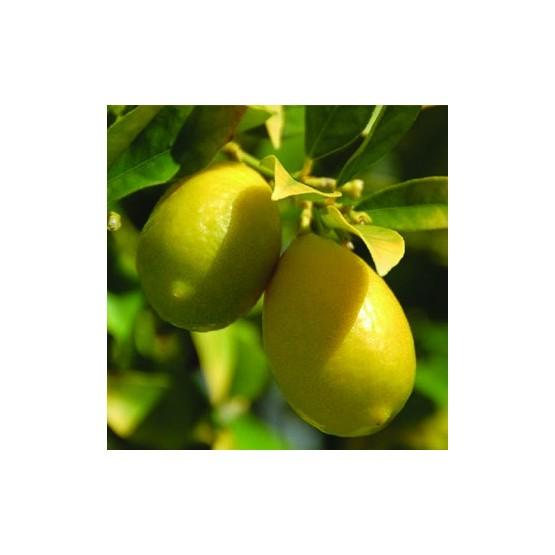Citrus Limequat - Fruto
