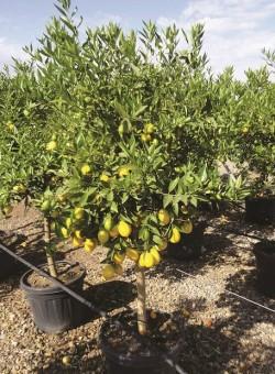 Citrus Limequat COPARAM