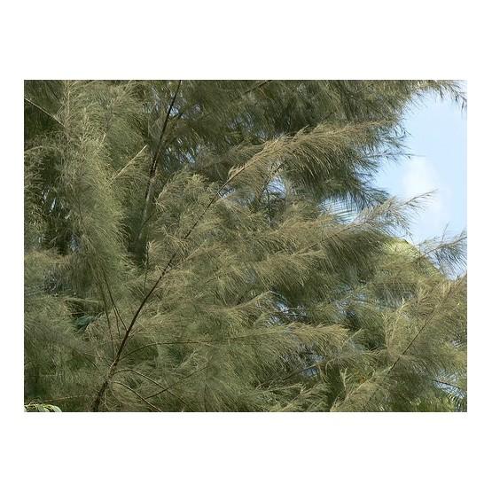 Casuarina equisetifolia CONIFERA