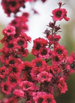 "Leptospermum scop ""Red Damask"""