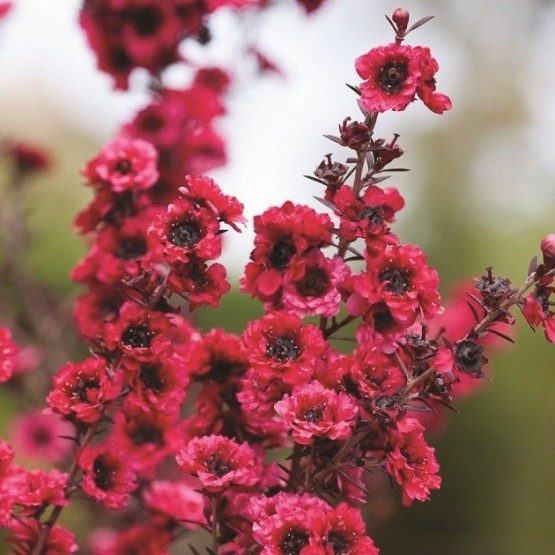 "Leptospermum scoparium ""Red Damask"" - Flor"