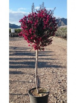 "Leptospermum scoparium ""Red Damask"" COPAT/3"