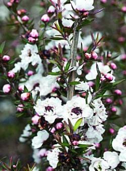 """Leptospermum scoparium """"Leonard Wilson"""" - Flor"""