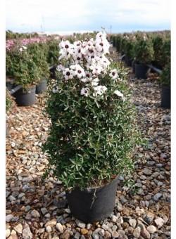 """Leptospermum scoparium """"Leonard Wilson"""" 3,5L ARBUSTO"""