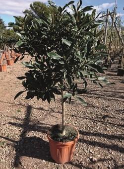 "Eriobotrya japonica ""Copperton"