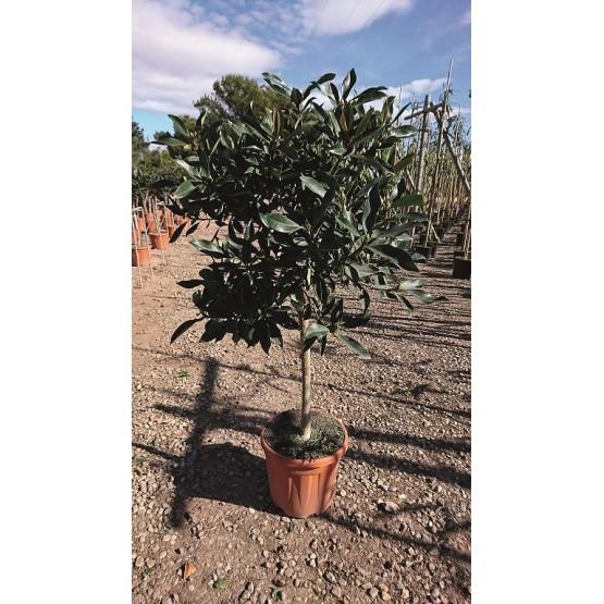 """Eriobotrya japonica """"Coppertone"""" COPAT/2"""