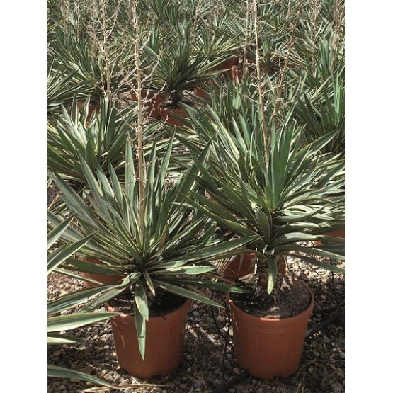 """Yucca gloriosa """"Variegata"""" SUCULENTA"""